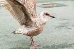 Situación de la gaviota en la calle y aleteo de sus alas imagenes de archivo