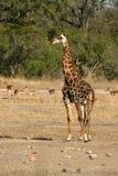 Situación de la jirafa Foto de archivo libre de regalías