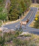 Situación de la vaca del canadensis del Cervus de los alces en el medio del camino fotografía de archivo