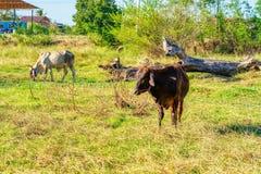 Situación de la vaca en prado imagen de archivo