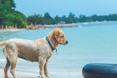 Situación de oro del perro mojado en la playa con el anillo de goma negro Imagenes de archivo