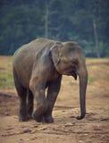 Situación del elefante Imagen de archivo libre de regalías