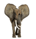 Situación del elefante africano, oídos para arriba, aislada Imagen de archivo libre de regalías