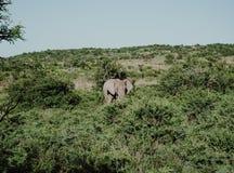 Situación del elefante en el medio del arbusto en un día soleado imágenes de archivo libres de regalías