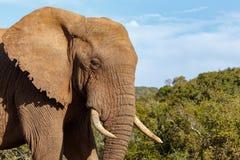 Situación del elefante orgullosa y que le mira foto de archivo