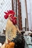 Situación del gallo de las aves de corral y griterío Fotos de archivo