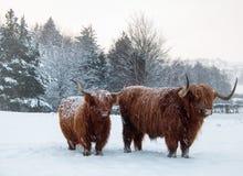 Situación del ganado de la montaña en nieve de mentira y que cae foto de archivo libre de regalías