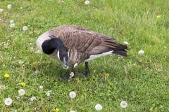 Situación del ganso de Canadá en un césped que mira para arriba con la expresión asustada mientras que come las semillas del dien imagen de archivo