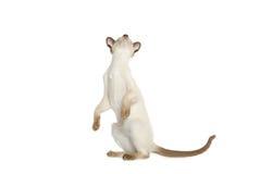 Situación del gato siamés fotografía de archivo