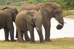Situación del grupo del elefante en un waterhole fotografía de archivo libre de regalías