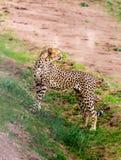 Situación del guepardo Foto de archivo libre de regalías