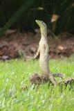 Situación del lagarto Imagen de archivo libre de regalías