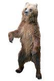 Situación del oso de Brown Fotografía de archivo