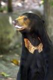 Situación del oso de Sun Imagenes de archivo