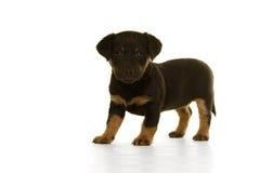 Situación del perrito de Jack Russel aislada en blanco Imagen de archivo
