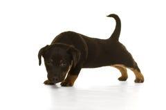 Situación del perrito de Jack Russel aislada en blanco Fotos de archivo libres de regalías
