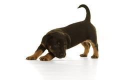 Situación del perrito de Jack Russel aislada en blanco Imágenes de archivo libres de regalías