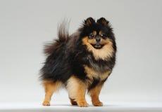 Situación del perro de Pomerania Fotografía de archivo libre de regalías