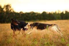 Situaci?n del perro del perro esquimal de dos perros y de monta?a de Bernese en prado verde y mirada de la c?mara Fondo de la hie imágenes de archivo libres de regalías
