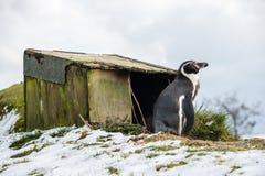 Situación del pingüino Fotografía de archivo libre de regalías
