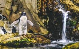 Situación del pingüino de Gentoo en la roca alrededor a zambullirse en el agua cerca de wa imagen de archivo
