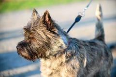 Situación del primer del perro de Terrier de mojón en la luz brillante del sol poniente imagenes de archivo