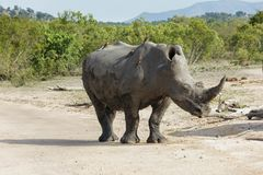 Situación del rinoceronte en el sol fotografía de archivo libre de regalías