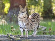 Situación del Serval Foto de archivo libre de regalías