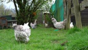 Situación dormida descendente del pollo libre de la gama en un corral de la granja del país almacen de metraje de vídeo