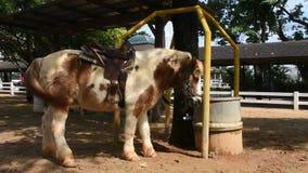 Situación enana del caballo y comer la comida en establo en la granja en Saraburi, Tailandia metrajes