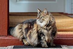 Situación femenina del gato noruego enterado del bosque en el umbral Imágenes de archivo libres de regalías