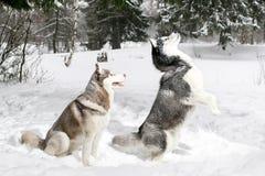 Situación fornida en sus piernas traseras nieve Invierno Fotografía de archivo