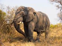 Situación grande del elefante Imagen de archivo