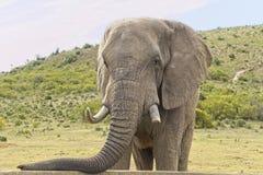 Situación grande del elefante africano y reclinación de su tronco en un muro de cemento de un depósito imagen de archivo libre de regalías