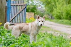 Situación gris fornida del perro en la hierba La visión desde el lado Foto de archivo libre de regalías