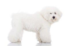 Situación hermosa del perro de perrito del frise del bichon Imagen de archivo libre de regalías