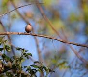 Situación linda del pájaro del Bico-de-lacre del astrild del Estrilda pequeña en una rama foto de archivo libre de regalías
