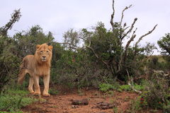 Situación masculina africana salvaje del león Imagenes de archivo