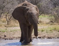Situación masculina en agua, movimiento del elefante africano durante la consumición foto de archivo