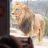 Situación masculina grande del león, demostración asombrosa de la aventura a la gente y tr Fotografía de archivo