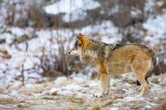 Situación masculina hermosa del lobo en el bosque fotografía de archivo
