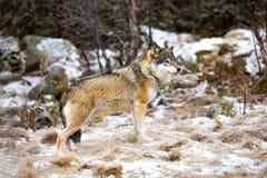 Situación masculina hermosa del lobo en el bosque que busca a enemigos fotografía de archivo libre de regalías