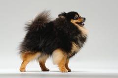 Situación mullida del perro de Pomerania Fotos de archivo libres de regalías