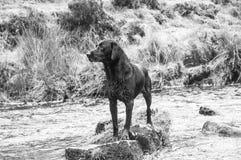 Situación negra mojada de Labrador en una roca en un río imagen de archivo libre de regalías