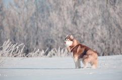 Situación roja y blanca del perro del husky siberiano en el prado de la nieve fotografía de archivo