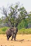 Situación solitaria del elefante africano debajo de un árbol grande que mira directamente la cámara en el parque nacional de Hwan imágenes de archivo libres de regalías