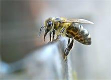 Situación y comienzo de la abeja para beber el agua foto de archivo