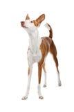 Situación del perro de Ibizan Imagen de archivo libre de regalías