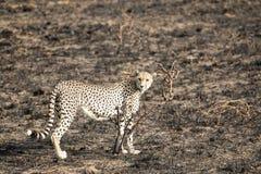 Situación y el mirar fijamente del guepardo Imagen de archivo libre de regalías
