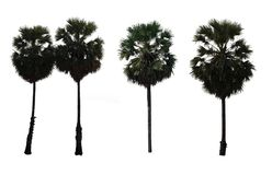 Situated palm tree isolated on white Royalty Free Stock Images
